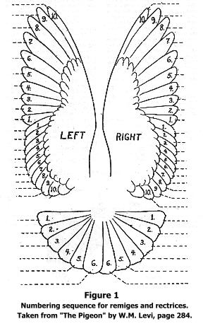 Feather layout of pigeon.