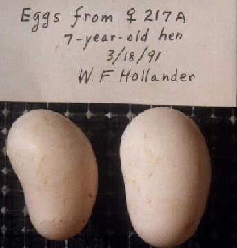 Kidney-shaped pigeon eggs.