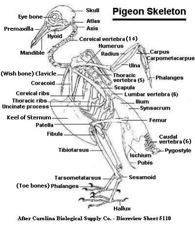 Wondrous Pigeon Skeleton Labeled Wiring 101 Tzicihahutechinfo