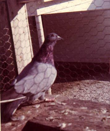 Barless Rock Pigeon from Czechoslovakia.